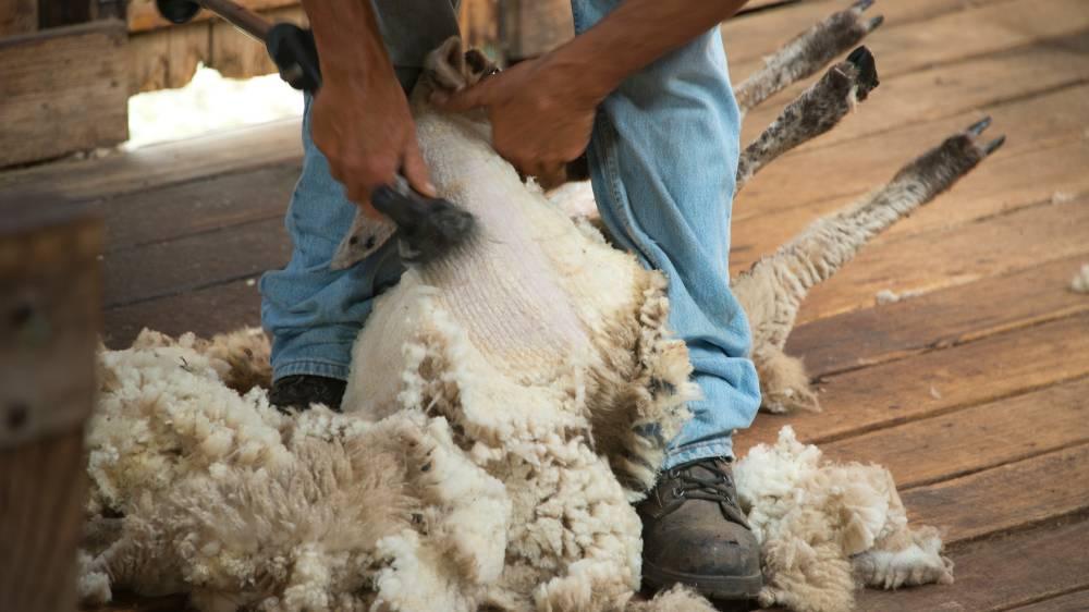 RESPONSE: Skilled shearers valued by SA wool industry following concerns raised by a national union body. Photo: Shutterstock